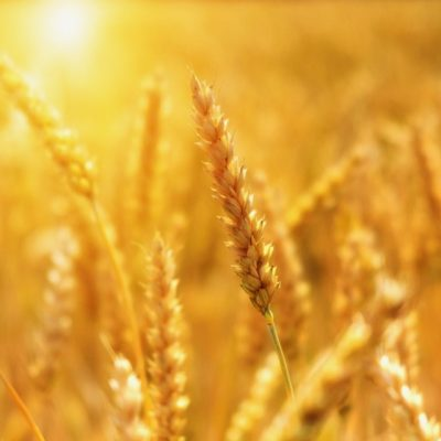 wheat-3506758_1920 (2)